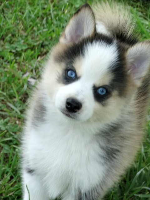 Puppies | Arctic Pomskies | United States