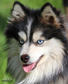 Wolfie s face copy.jpg