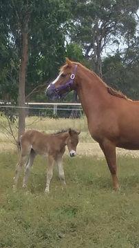 Daisy mare and foal.jpg