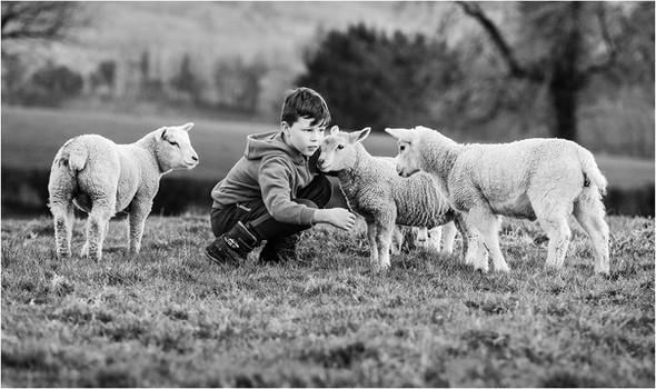 'Boy with his lambs' by Anita Kirkpatrick - PAGB Ribbon