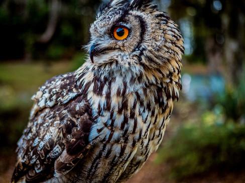 Owl in Scotland