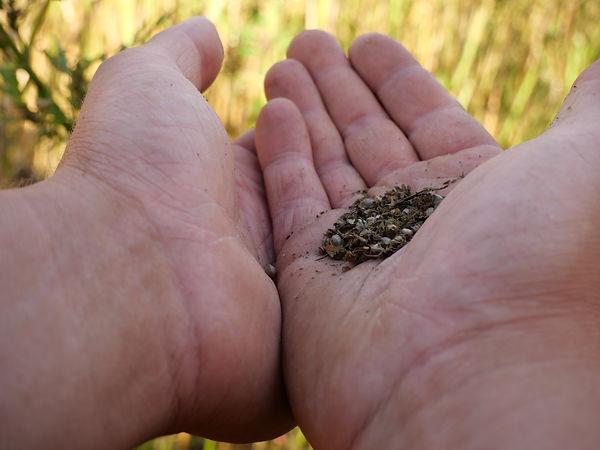 hemp seed hands.JPG
