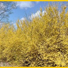 Forsythia - Northern Sun