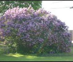 Common Purple