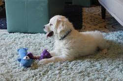 golden-retriever-puppy-for-sale