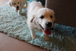 white-gold-puppys-for-sale-in-md