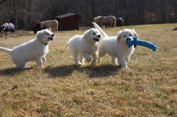 white-gold-puppies-for-sale-in-pa