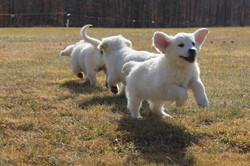 white-golden-retriever-puppies
