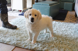 white-gold-puppies-for-sale-near-me