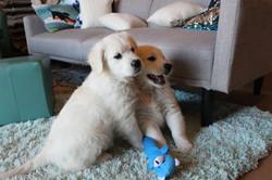 White-golden-retriver-puppies