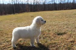white-golden-puppy-in-md
