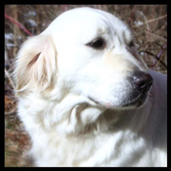 white-golden-retriever-puppies-in-md