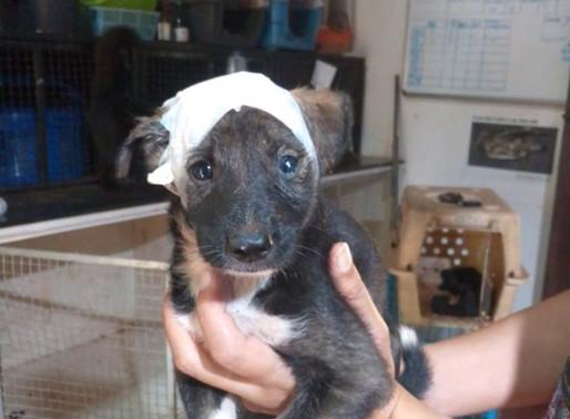 Maggot head pup gets cute head bandage