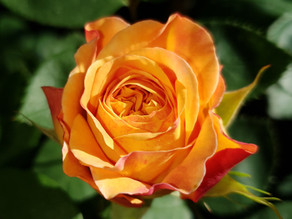 Does this rose make you think of iron bridges?