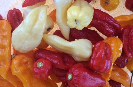 Julian grew 9 different varieties of pep