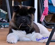 Epic Akitas, Akita Puppy, Epic's Invictus, Oklahoma Akita Puppies