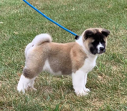 Akita puppy, Lucy, Epic puppy
