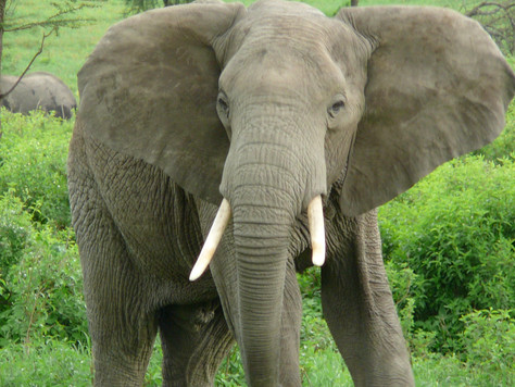 Selling the African Elephant