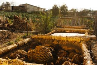 agaves fermenting