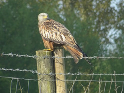 One of our resident Red Kites