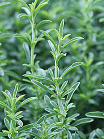 Large Rosemary Plant
