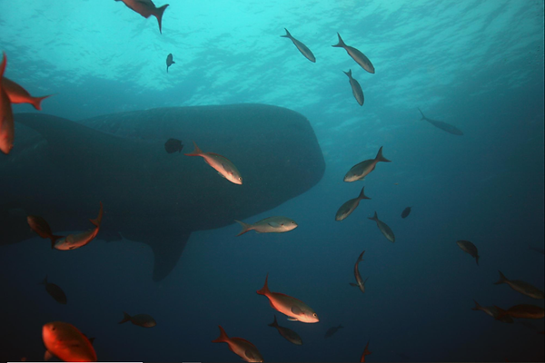 whale shark2.png