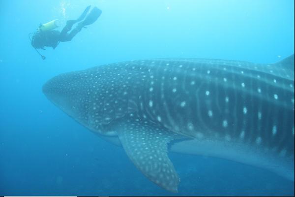darwin & wolf whale shark.png