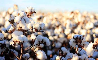 Cotton-nn1.jpg