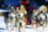 Group of dogs dog sledding