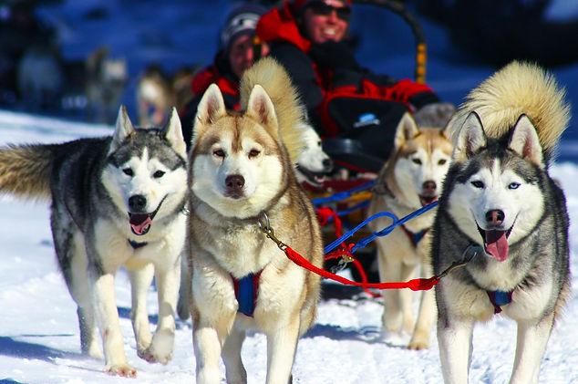Group of dogs dog sledding