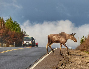 Moose crossing the road in Algonquin Park