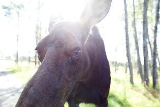 moose, moose ontario, moose algonquin, lake of two rivers, sightseeing, forrest, ontario nature, muskoka, ontario, small group trip, ourdoor adventure ontario