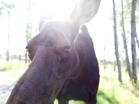 Moose Watching in Algonquin