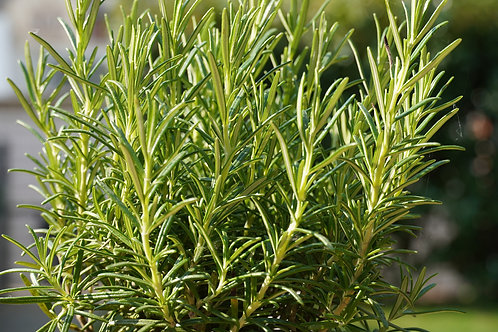 Organic Rosemary in pot