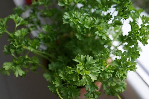 "Organic Parsley 4"" Pot"