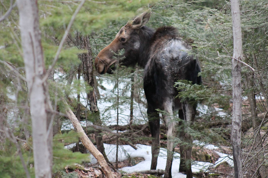 Moose in th woods with snow on the ground