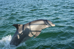 dolphinjumping2