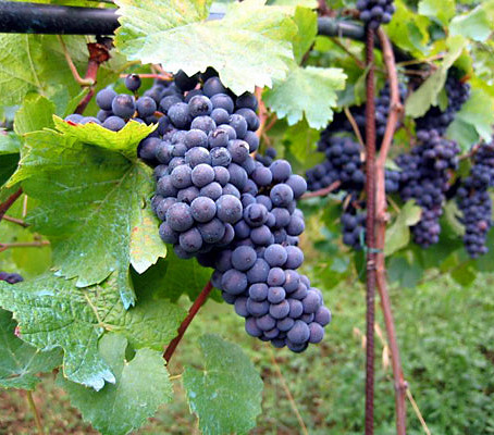 Uncoverthe Wines of Serbia