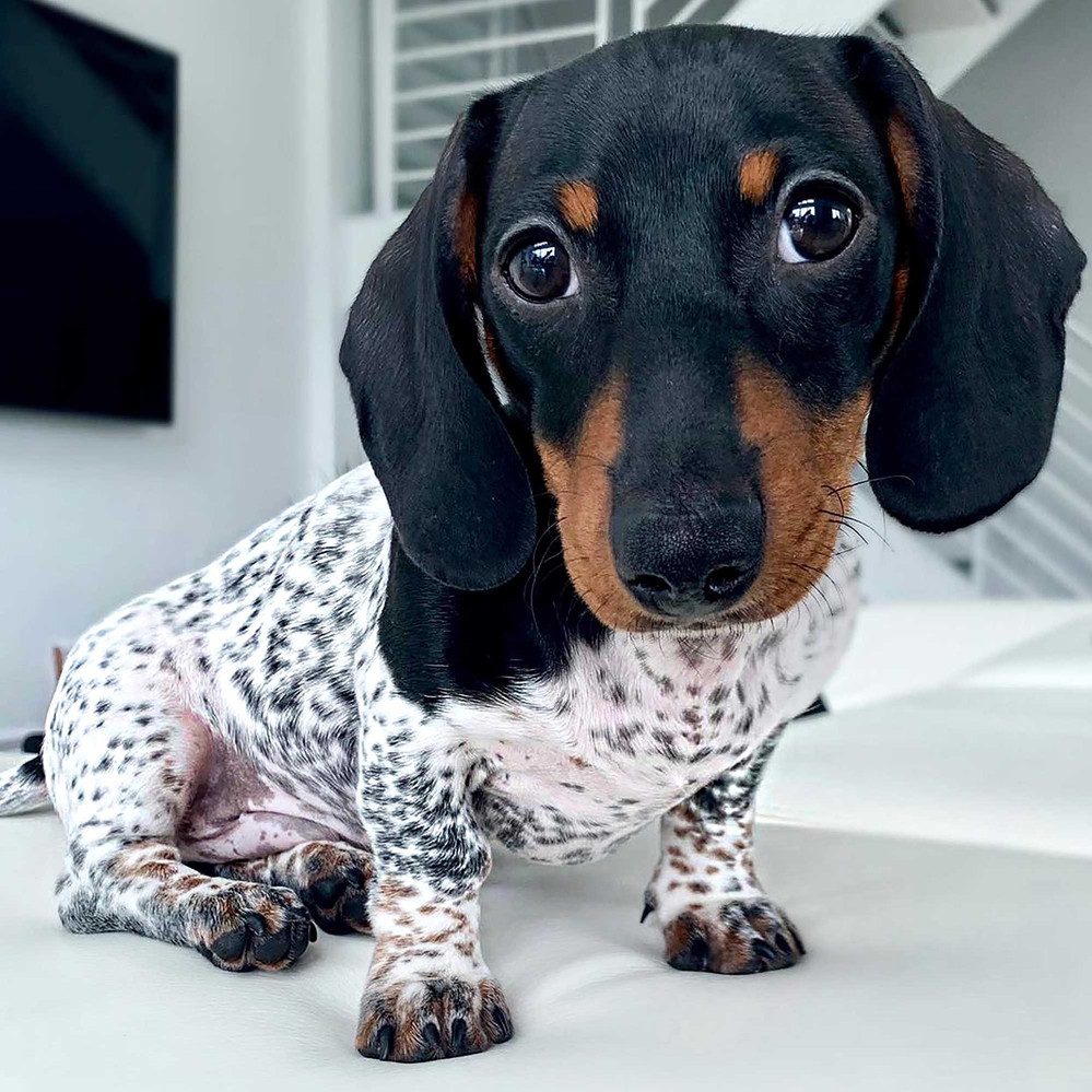 Moo the Dachshund