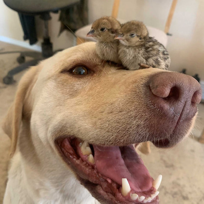 Ruby and the rescued chicks