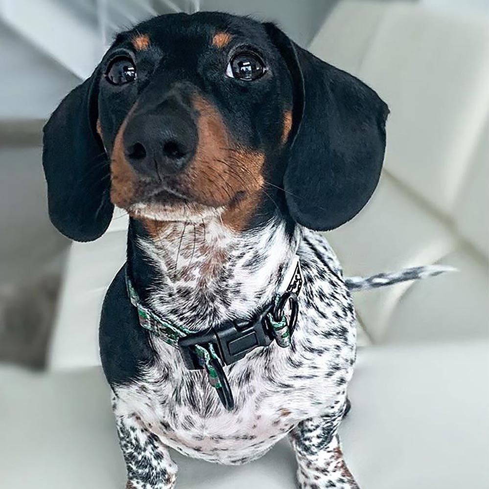 Two toned daschund