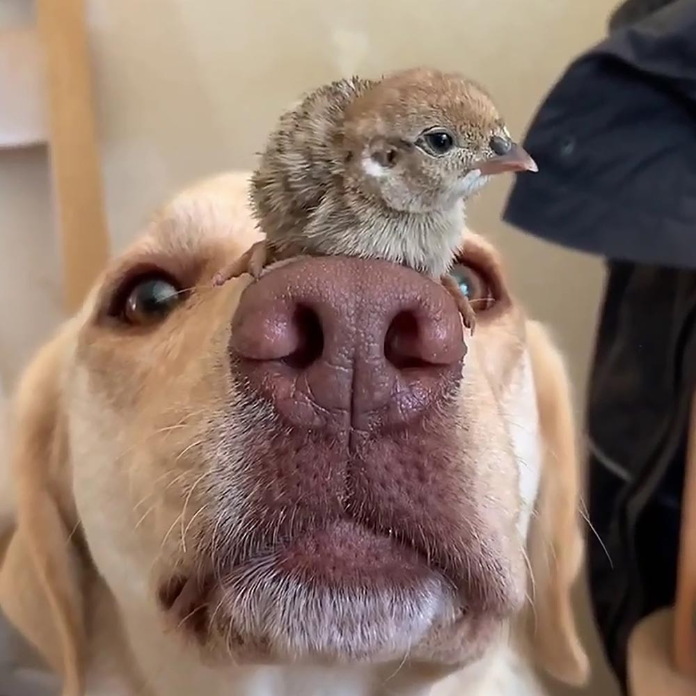 Dog and chicks friendship