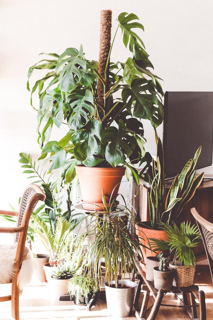 Monstera deliciosa plante exotique