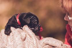 щенок кане корсо девочка