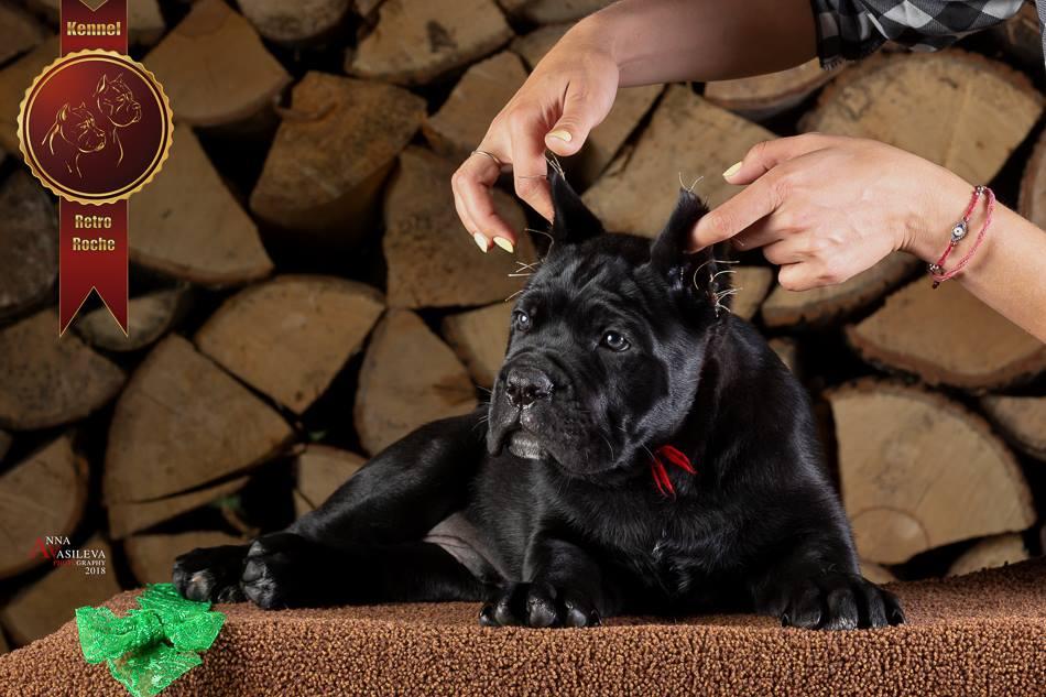 Купить щенка кане корсо