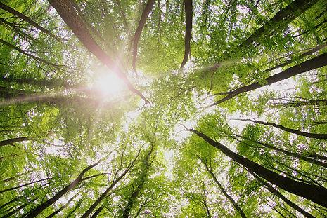 Forest Trees_edited.jpg