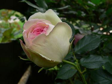 Eden Rose rózsa