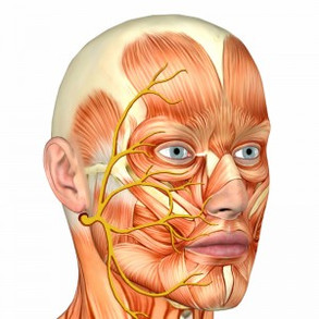 facial-nerve-and-muscle.jpg