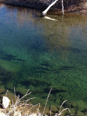 Migrating Salmon in the Scott River
