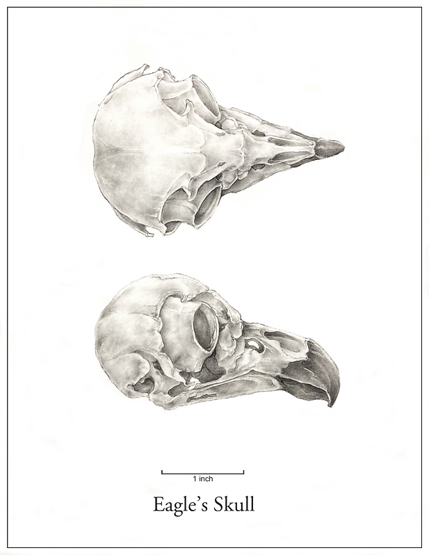 eagle skull white background.png